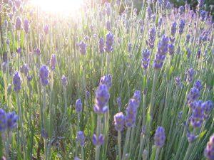 Der Lavendel im Garten blüht!